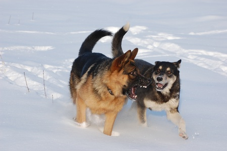 Domestic dogs play on the snow.Near Kiev,Ukraine  photo