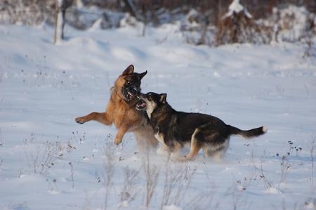 Domestic dogs play on the snow.Near Kiev,Ukraine  photo