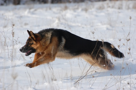 German Shepard Dog at the winter f.Near Kiev,Ukraine  写真素材