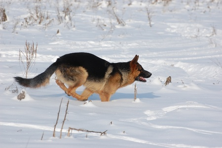 German Shepard Dog at the winter f.Near Kiev,Ukraine  photo