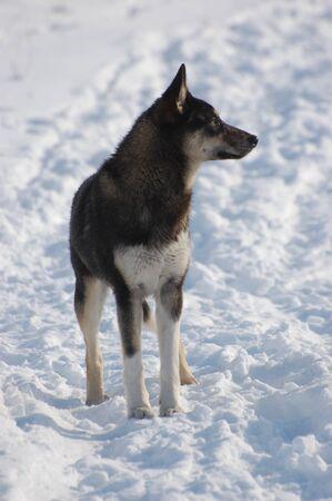 Metis Dog at  winter .Near Kiev,Ukraine photo