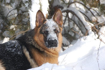 German Shepard Dog in the winter forest.Near Kiev,Ukraine  photo