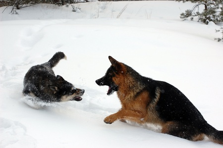 Domestic Dogs play in the winter forest.Near Kiev,Ukraine  photo