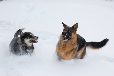 Domestic Dogs play in the winter forest,Ukraine  photo