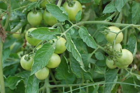 tomate de arbol: un tomate verde