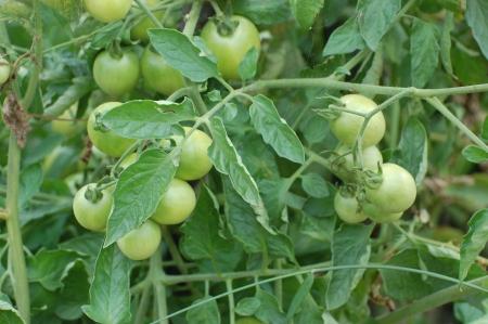 a green tomato photo