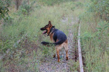 shepard: German Shepard Dog  Stock Photo
