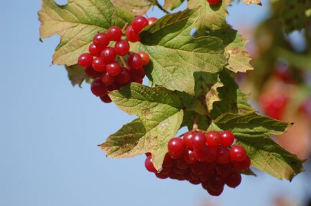 Red Viburnum berries on bush  photo