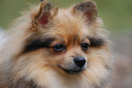 Pomeranian dog photo