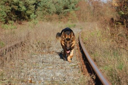 shepard: German Shepard Dog