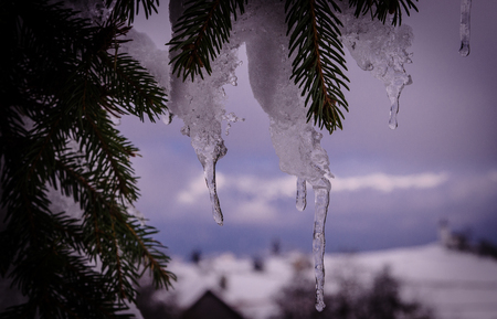 Sprigs of fir-tree in to snow. Christmas winter background with icicles hanging from spruce branches