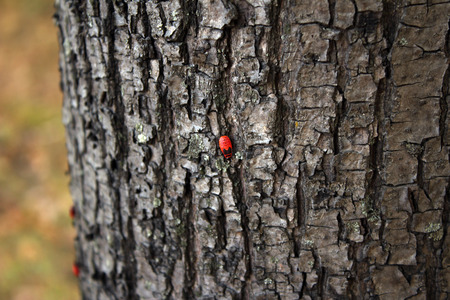 wingless: Chinch soldier red wingless insect
