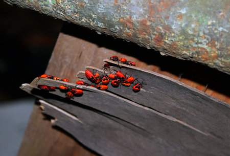 wingless: Chinches beetle red soldiers creep on a board under a rusty pipe