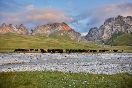 Wild yak in mountains