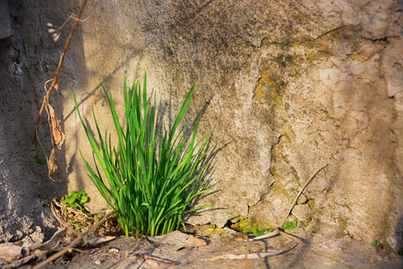 Green grass grow up through crack in old stone wall. Power of life. Banco de Imagens