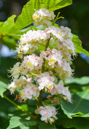 Chestnut flowers in spring. Aesculus hippocastanum. 스톡 콘텐츠