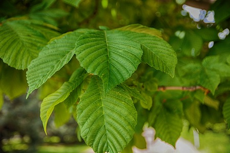 Green leaf texture. Leaf texture blurred background.