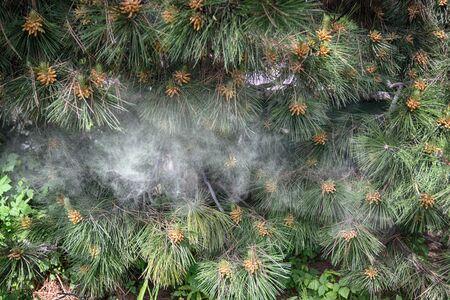 Fir tree brunch close up. Shallow focus. Fluffy fir tree brunch close up. Smoke. Copy space.