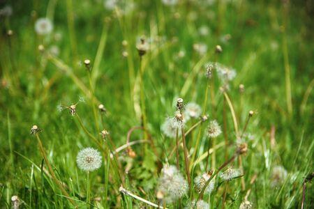 Spring flowers beautiful dandelions in green grass.