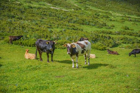 Cows eating fresh green grass.