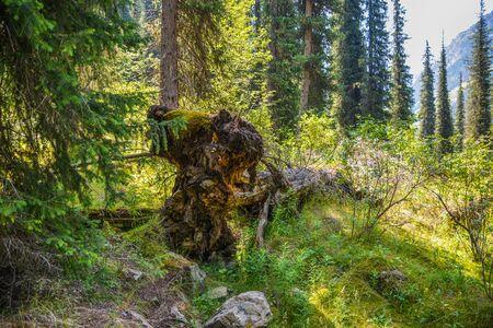 Broken old dry tree in mountains forest. Terskey Alatoo mountains, Tian-Shan, Karakol, Kyrgyzstan
