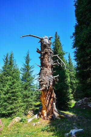 Old dry tree in mountains forest. Terskey Alatoo mountains, Tian-Shan, Karakol, Kyrgyzstan