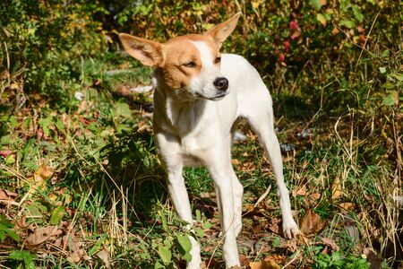Happy and active white and brown dog outdoors in the grass on a sunny summer day. Cute animal. Series of photos.