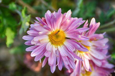 Pink chrysanthemum. Bee in flower. Autumn flower bed. Stock fotó