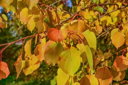 Autumn yellow leafes on the branch. Colorful foliage in the park.