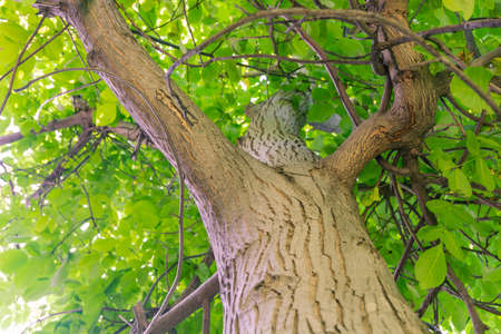 Close up view of walnut tree. Green leaves background.