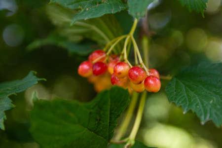 Close-up of viburnum berries on a bush. Kalina (scientific name Viburnum)
