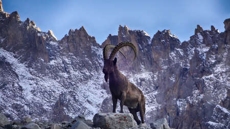 Ibex, Range of Ala Too mountains in Kyrgyzstan.