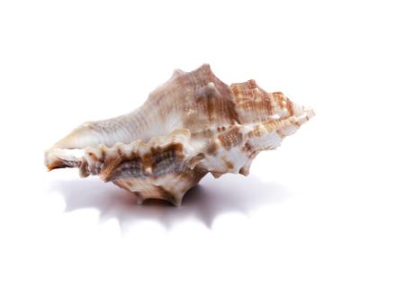 almeja: Concha sobre un fondo blanco para el aislamiento