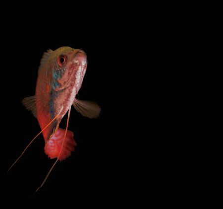 fresh water aquarium fish: fresh water aquarium fish isolated on the black, blue, red