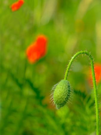 Defocused, poppy flowers on a spring field Stock Photo