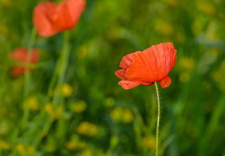 pied: Defocused, poppy flowers on a spring field Stock Photo