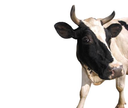 Cow isolat on white background