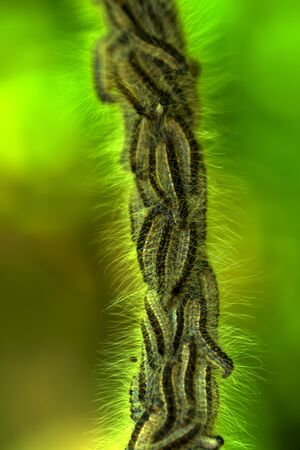 Nest oak processionary caterpillar (Thaumetopoea processionea) in an oak tree. Poisonous hairs are dangerous for human skin and lungs causing rash, irritation and asthma. Selective focus Stok Fotoğraf