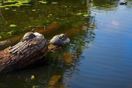 Red-eared turtles basking and swimming in the sun 版權商用圖片