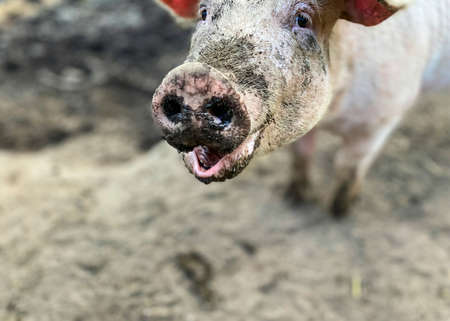 Happy pig with dirty snout poses for the camera. Domestic animals farming.