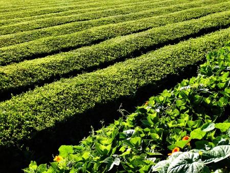 Tea lands in Azores Stock Photo