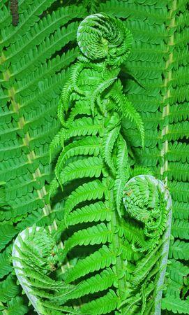 unfurl: A  fern leaf on green background Stock Photo