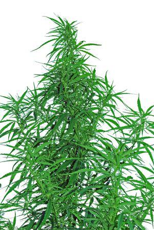 a leaves of hemp closeup on white background photo