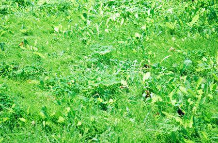 wet green grass ultra close up texture photo
