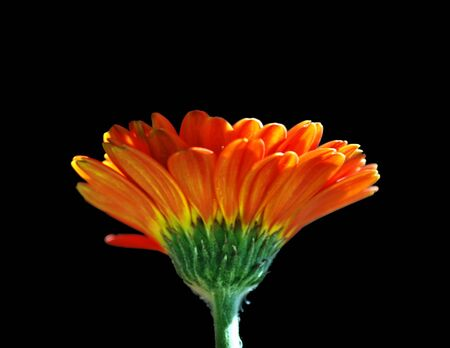Closeup of orange gerbera (northen flower) in nature Stock Photo - 4237915