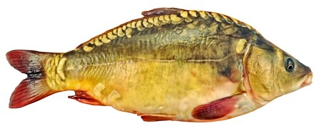 mirror carp: fresh mirror carp is a carp without a scale Stock Photo