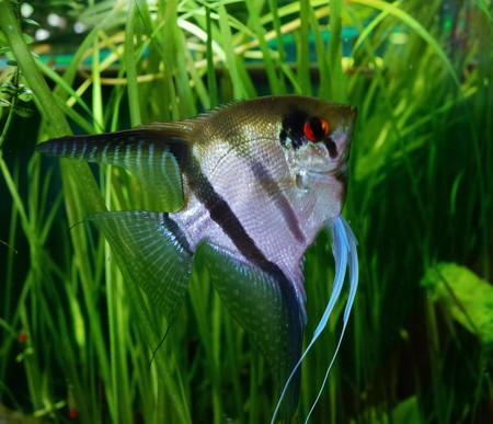 scalare: Pterophyllum scalare in the aquarium