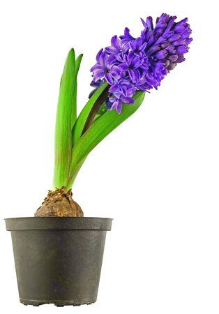 hyacinthus: Hyacinthus cerca de campo de la flora de fondo