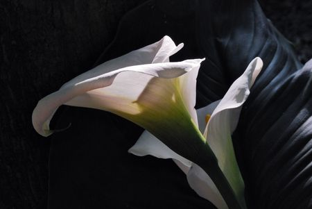 flower of white calla on a black background