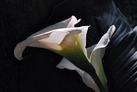 arum: flower of white calla on a black background
